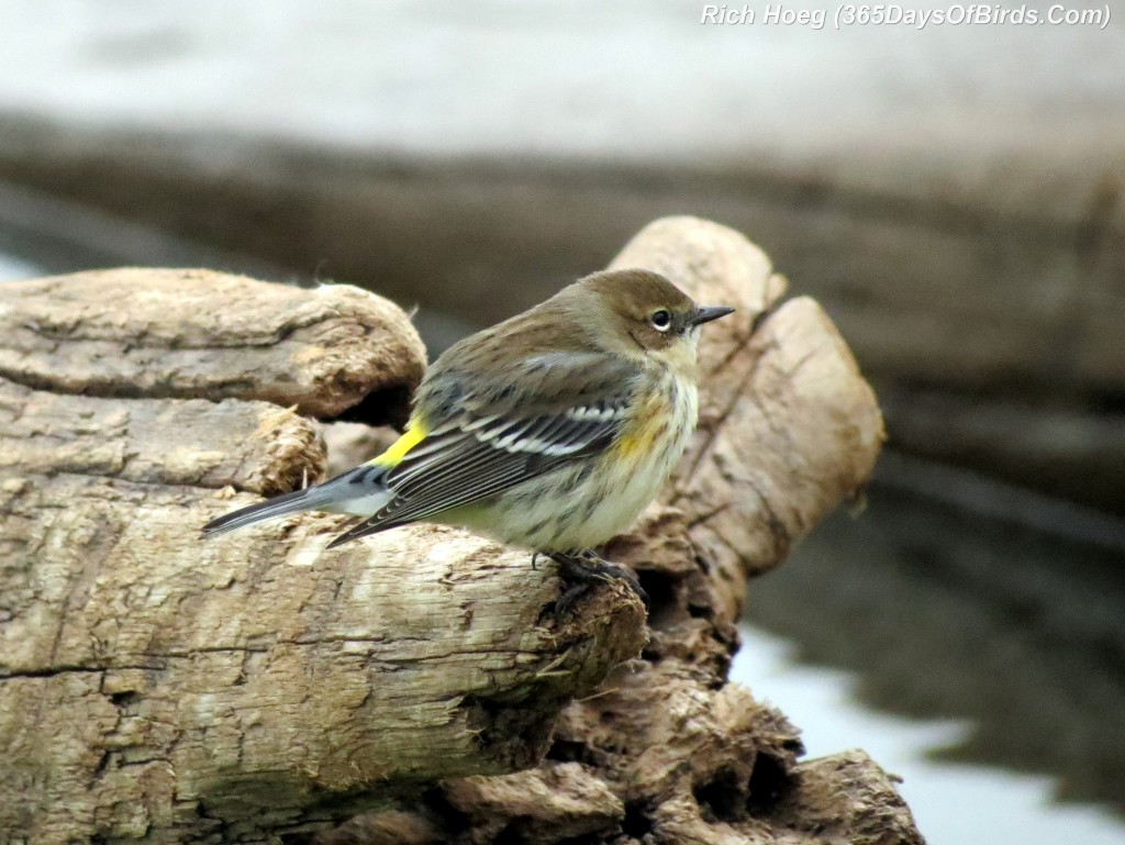 264-Birds-365-Yellow-Rumped-Warbler