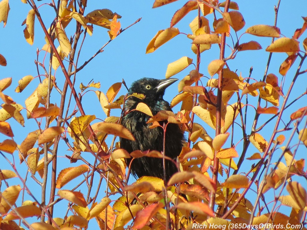 266-Birds-365-Fall-Leaves-Grackle