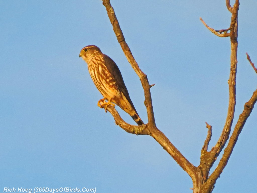 270-Birds-365-Sharp-Shinned-Hawk-at-Sunset