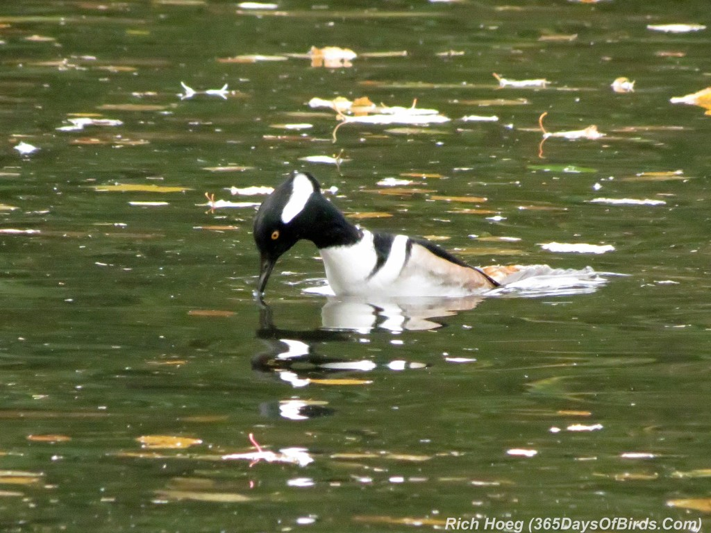 271-Birds-365-Hooded-Merganser-Diving