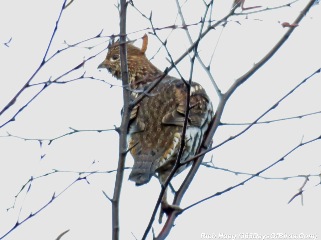 279-Birds-365-Ruffed-Grouse