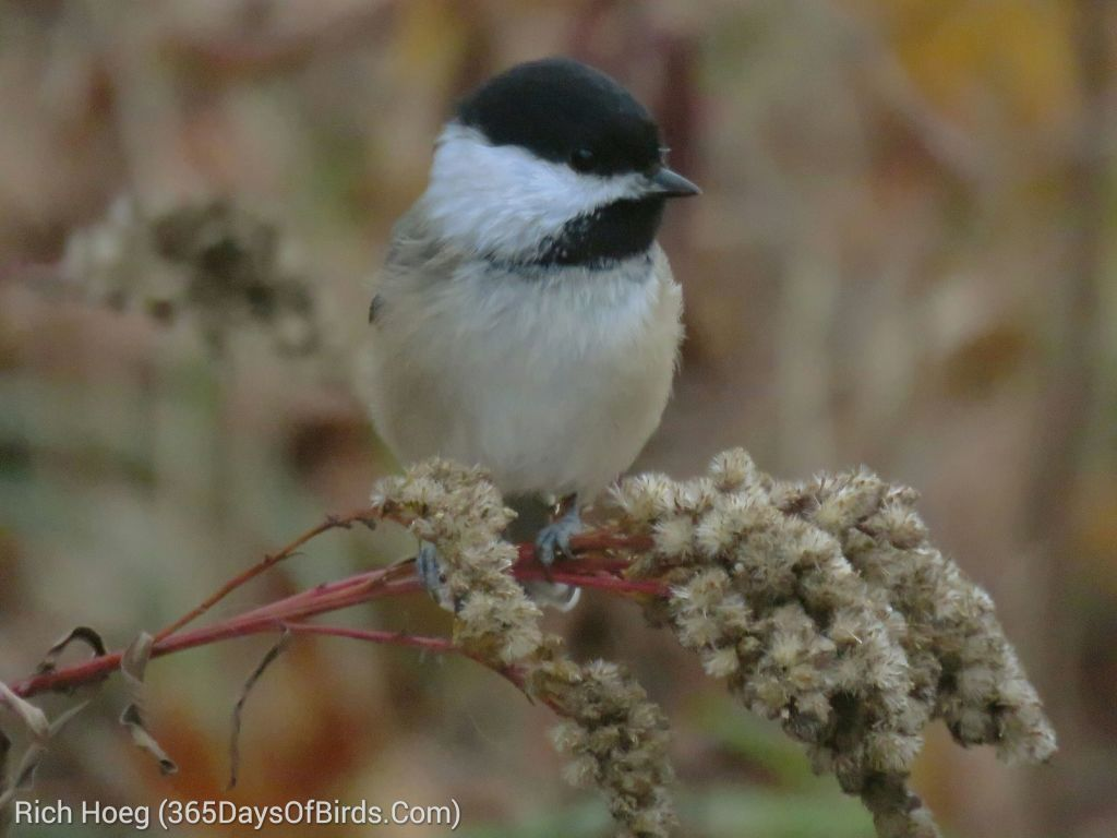 282-Birds-365-Morning-Chickadee_wm