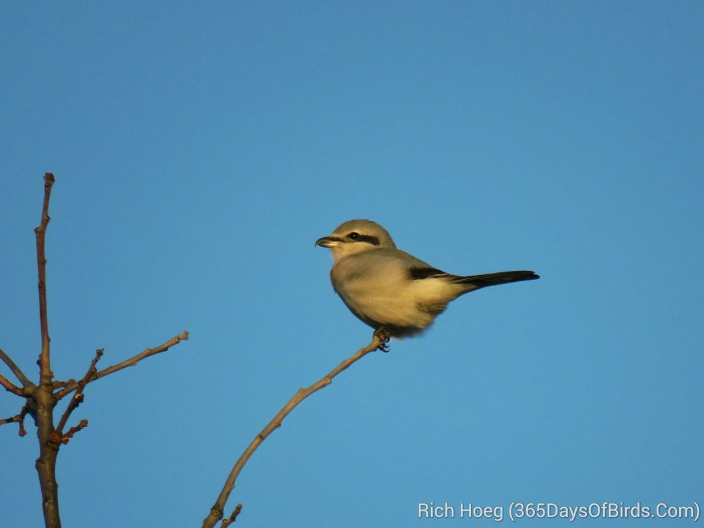 283-Birds-365-Northern-Shrike_wm