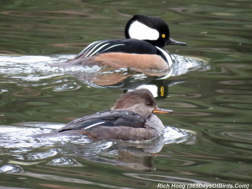 284-Birds-365-Merganser-Couple-1