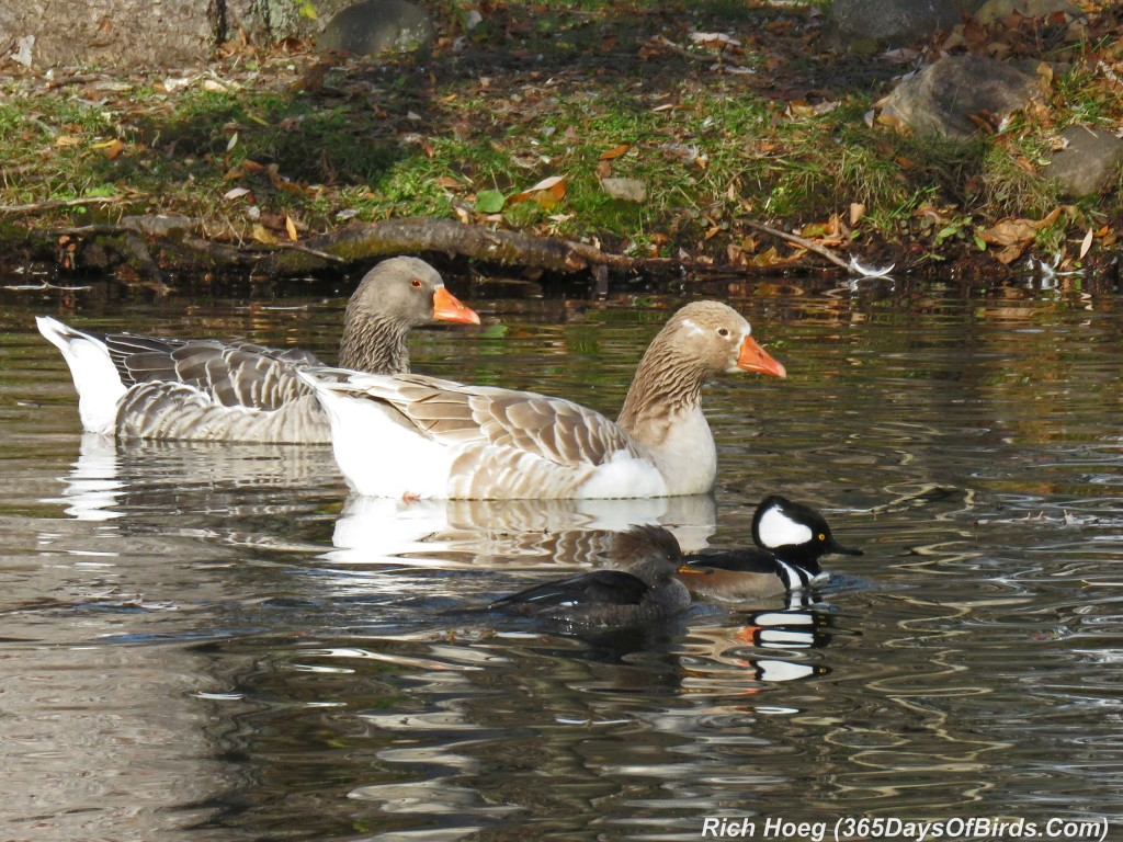 284-Birds-365-Mergansers-and-Geese