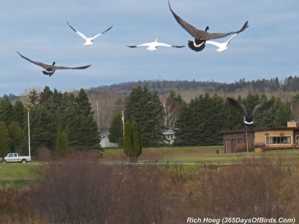286-Birds-365-Geese-4-Flying