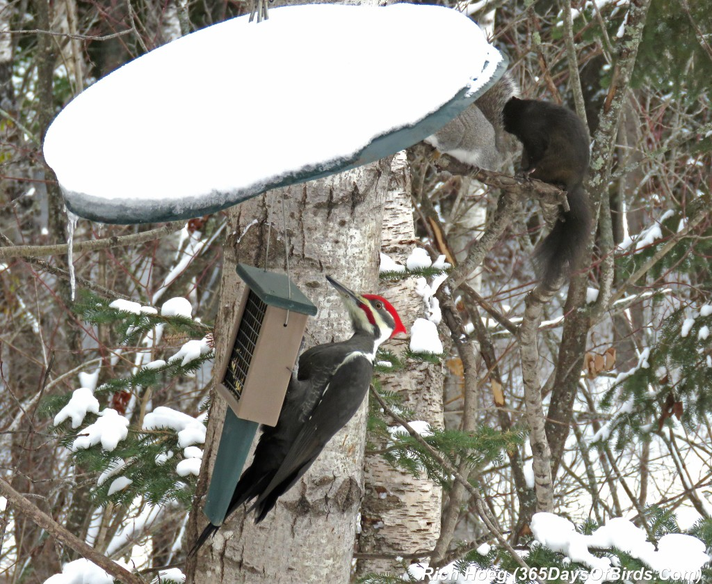 293-Birds-365-Pileated-Woodpecker-Squirrels-1