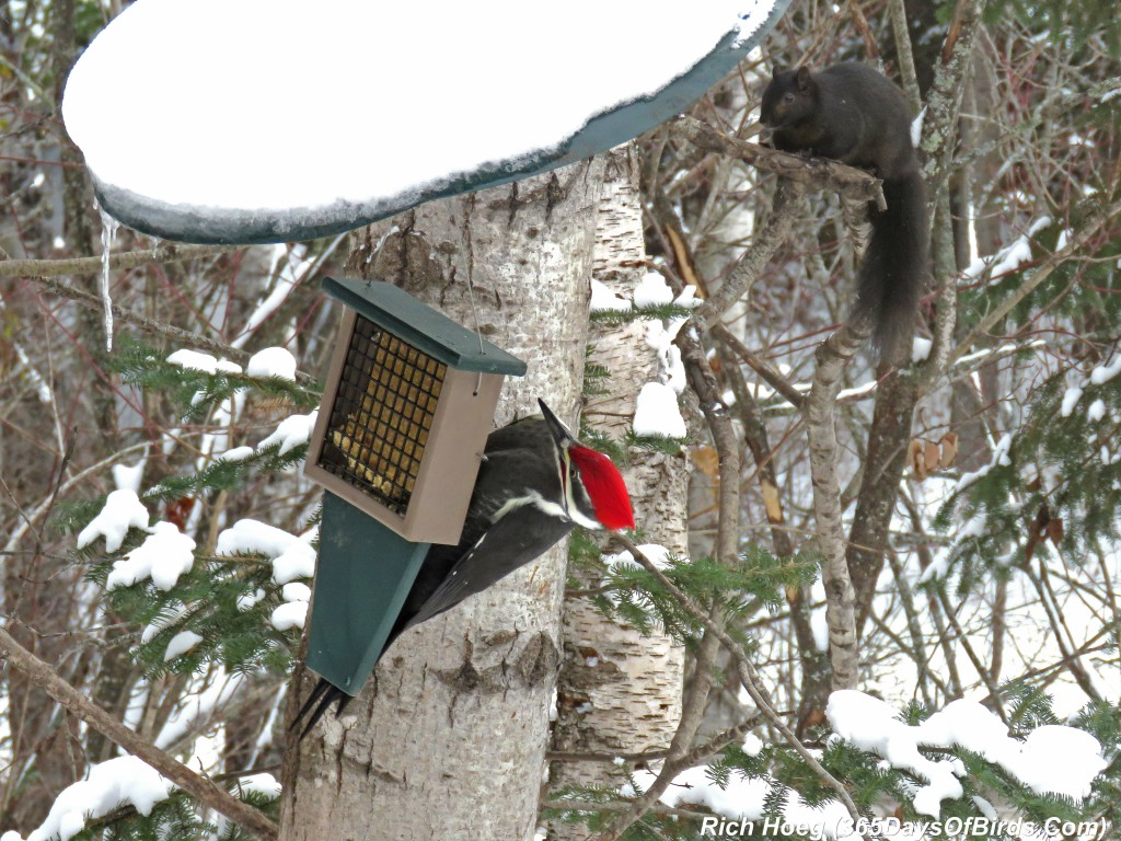293-Birds-365-Pileated-Woodpecker-Squirrels-2