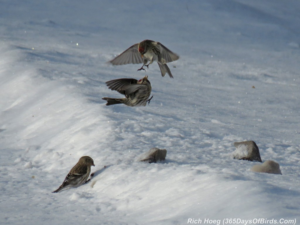 301-Birds-365-Fighting-Redpolls-2