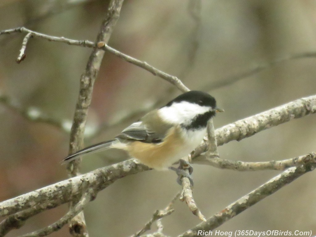 305-Birds-365-Chickadee