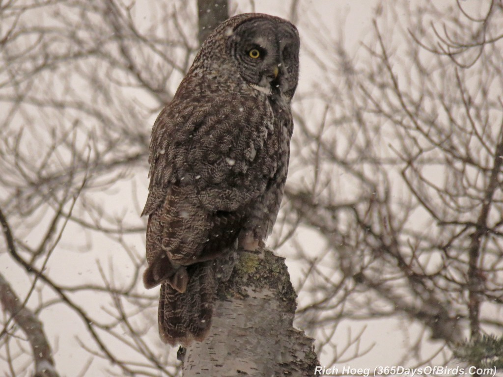 307-Birds-365-Great-Grey-Owl