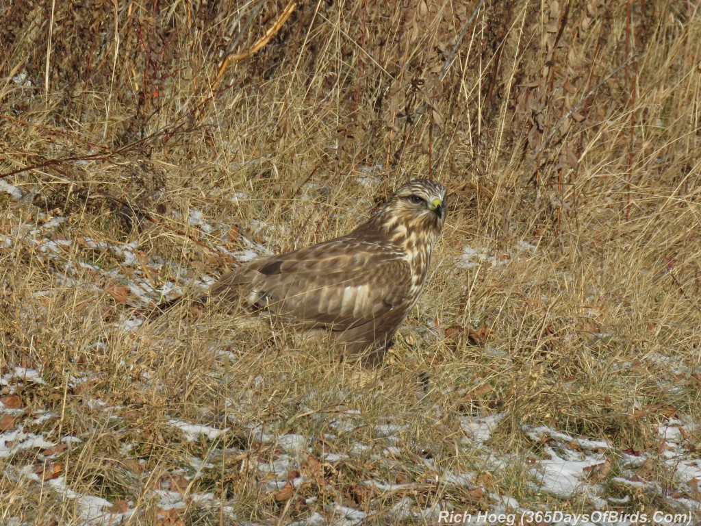 311-Birds-365-Rough-Legged-Hawk-Meal-2