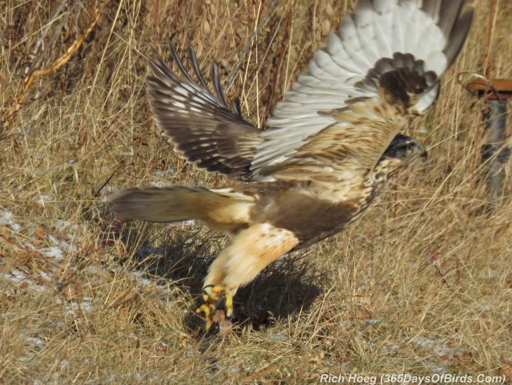 311-Birds-365-Rough-Legged-Hawk-Meal-3