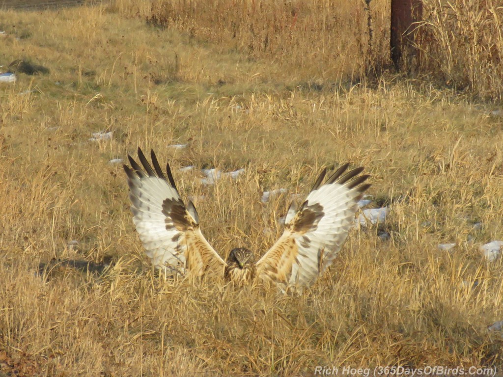 316-Birds-365-Rough-Legged-Hawk-3-Kill