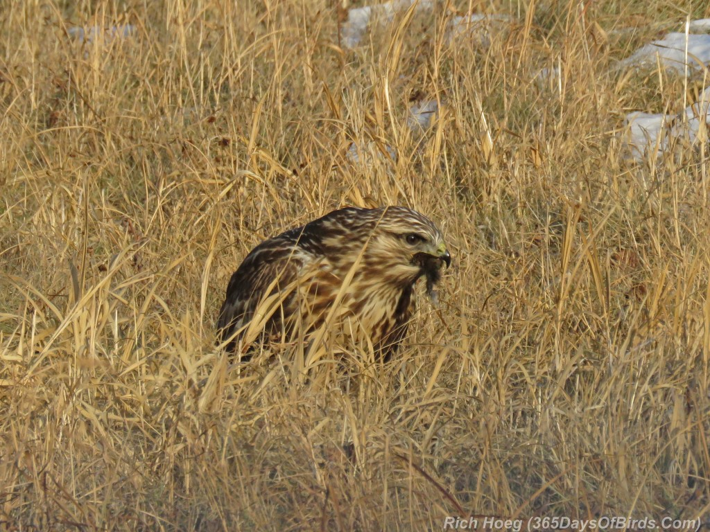 316-Birds-365-Rough-Legged-Hawk-4-Eat