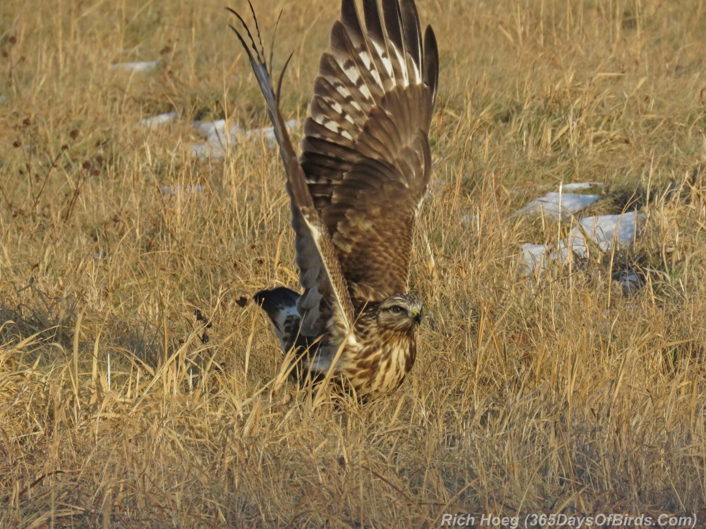 316-Birds-365-Rough-Legged-Hawk-5-Take-Off