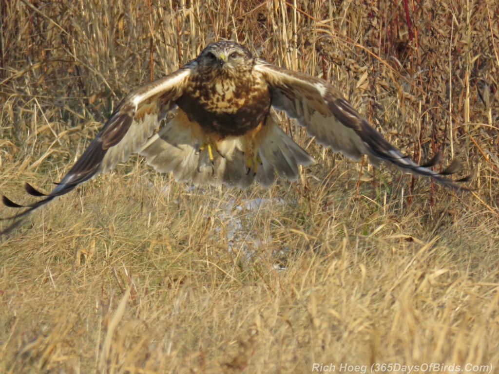 316-Birds-365-Rough-Legged-Hawk-6-In-Flight