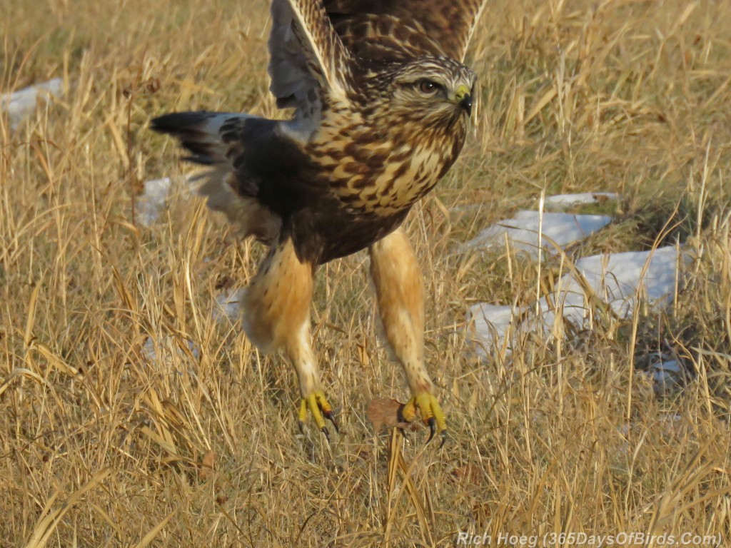 316-Birds-365-Rough-Legged-Hawk-7-Talons