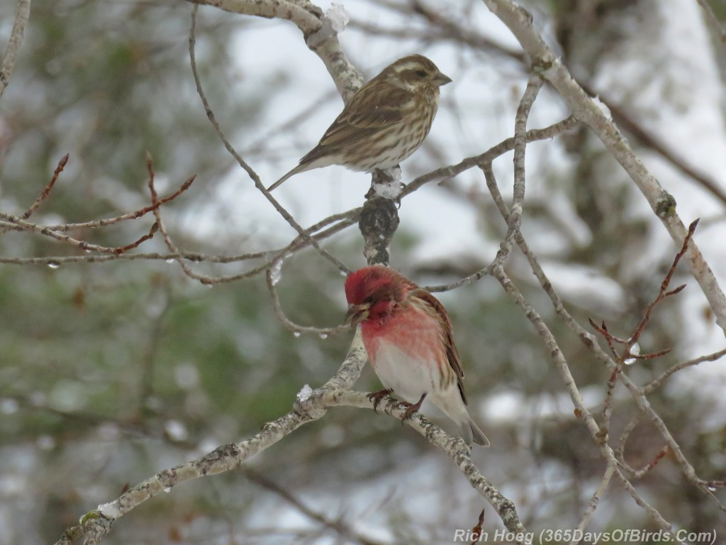 319-Birds-365-Purple-Finch