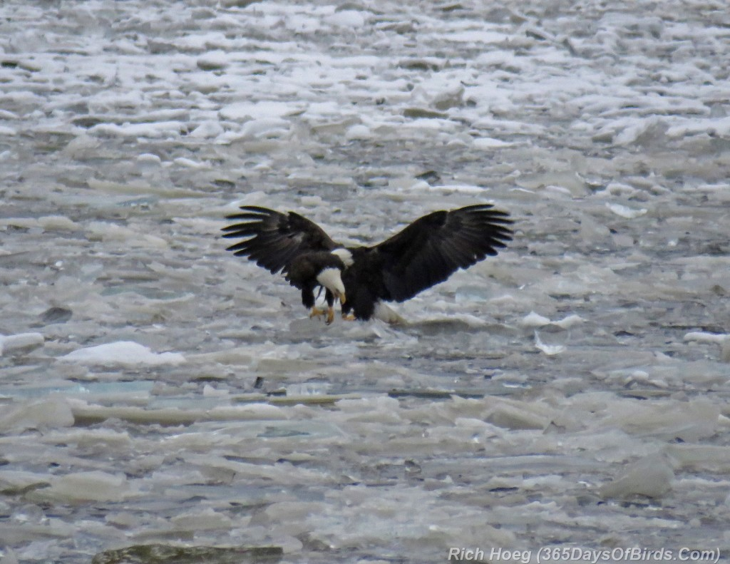 320-Birds-365-Iced-Bald-Eagle-1