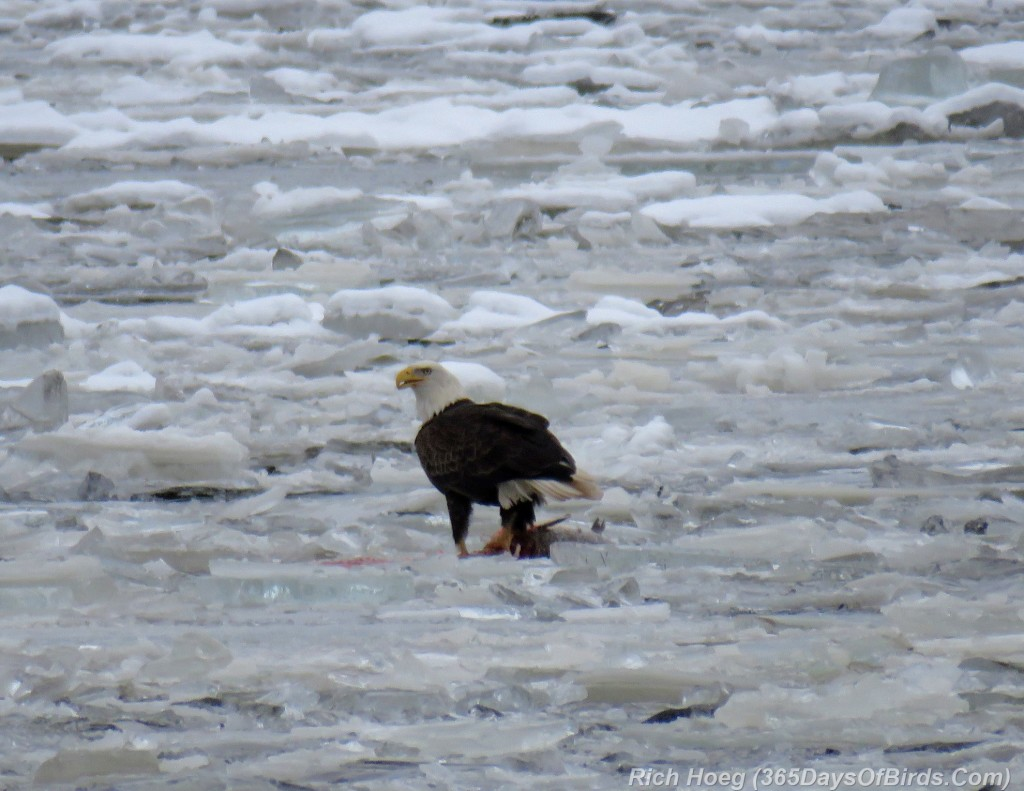 320-Birds-365-Iced-Bald-Eagle-2