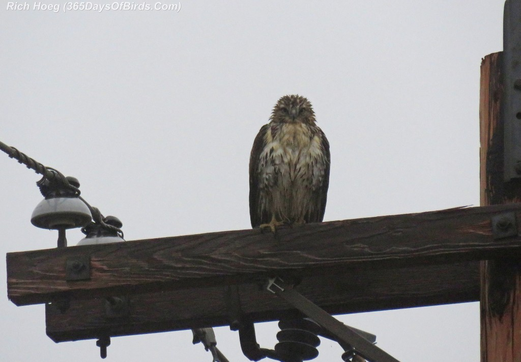 326-Birds-365-Wet-Red-Tailed-Hawk