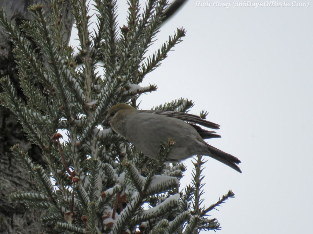 327-Birds-365-Pine-Grosbeak-Female