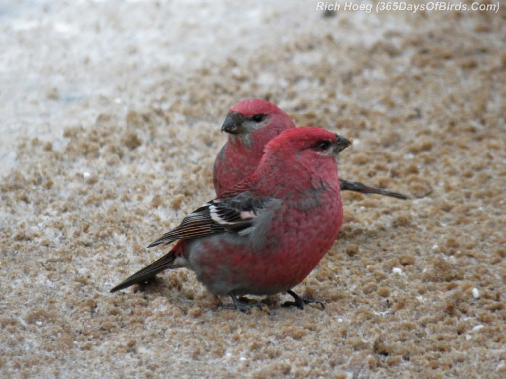327-Birds-365-Pine-Grosbeak-Males-1