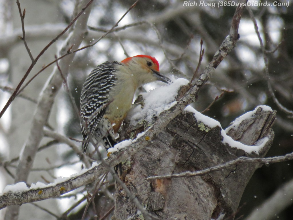 327-Birds-365-Red-Bellied-Woodpecker-2