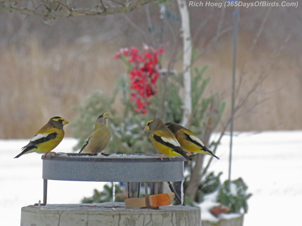 329-Birds-365-Evening-Grosbeaks-1