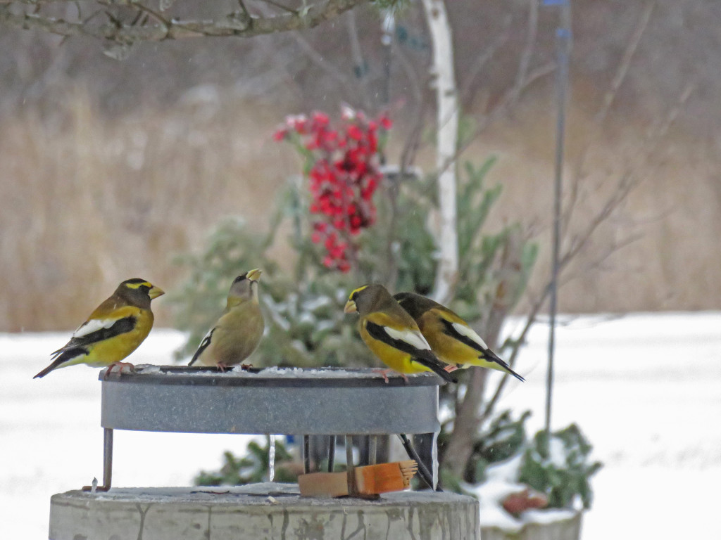 329-Birds-365-Evening-Grosbeaks-1S