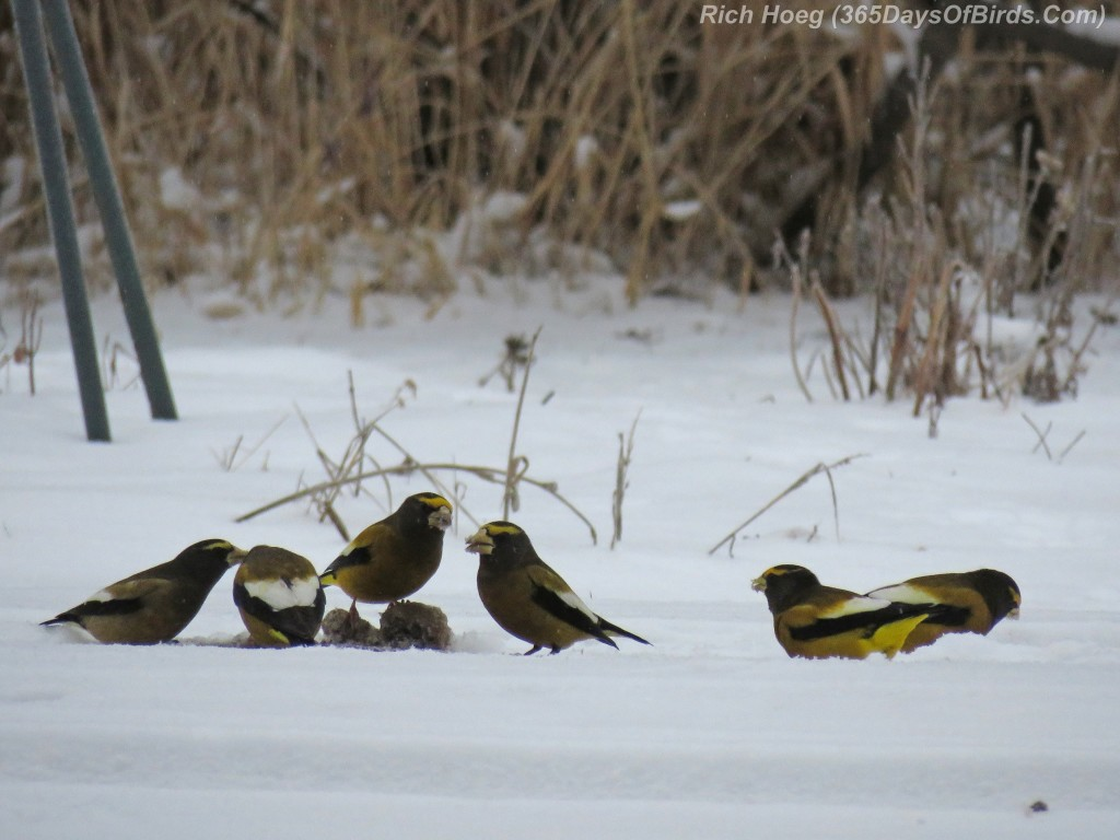 329-Birds-365-Evening-Grosbeaks-3