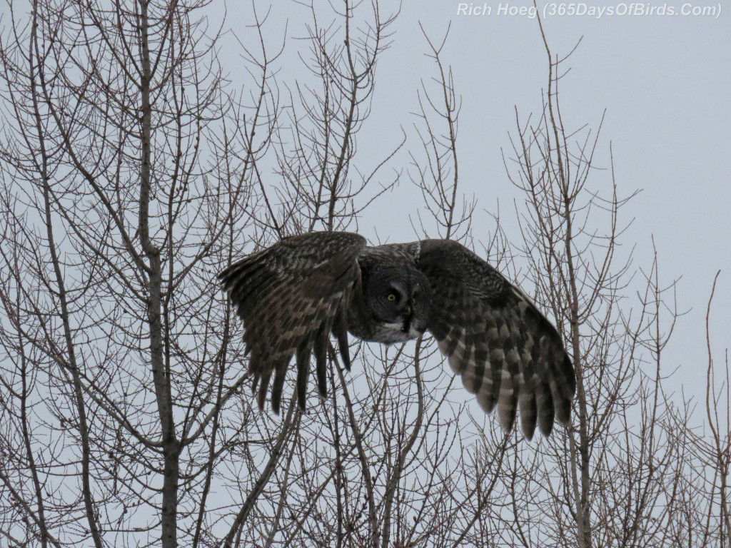 329-Birds-365-Great-Grey-Owl-3