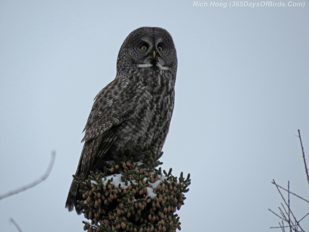 329-Birds-365-Great-Grey-Owl-5
