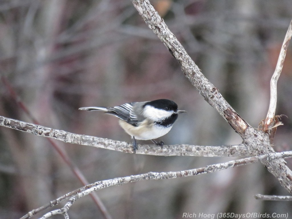 331-Birds-365-Black-Capped-Chickadee