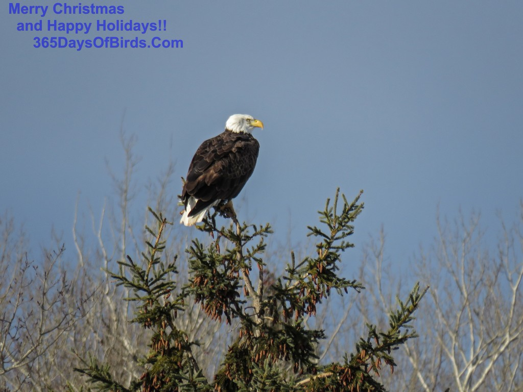 335-Birds-365-Bald-Eagle-Pines-2