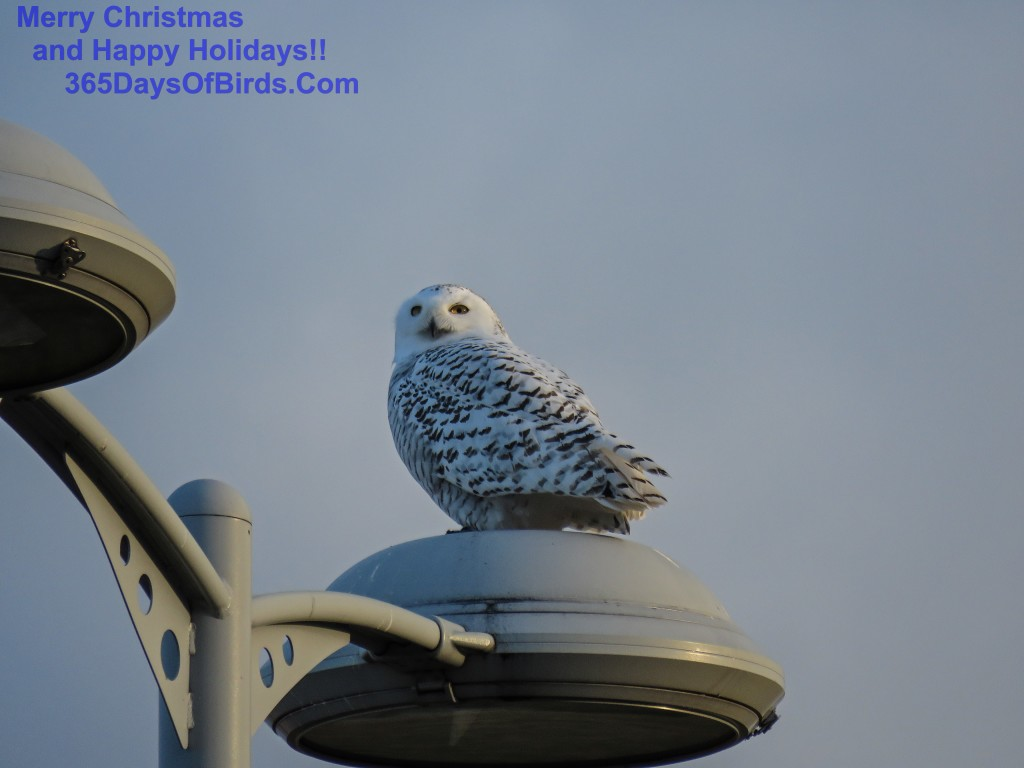 335-Birds-365-Snowy-Owl-Lights