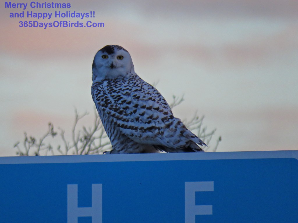 335-Birds-365-Snowy-Owl-Sunrise-2