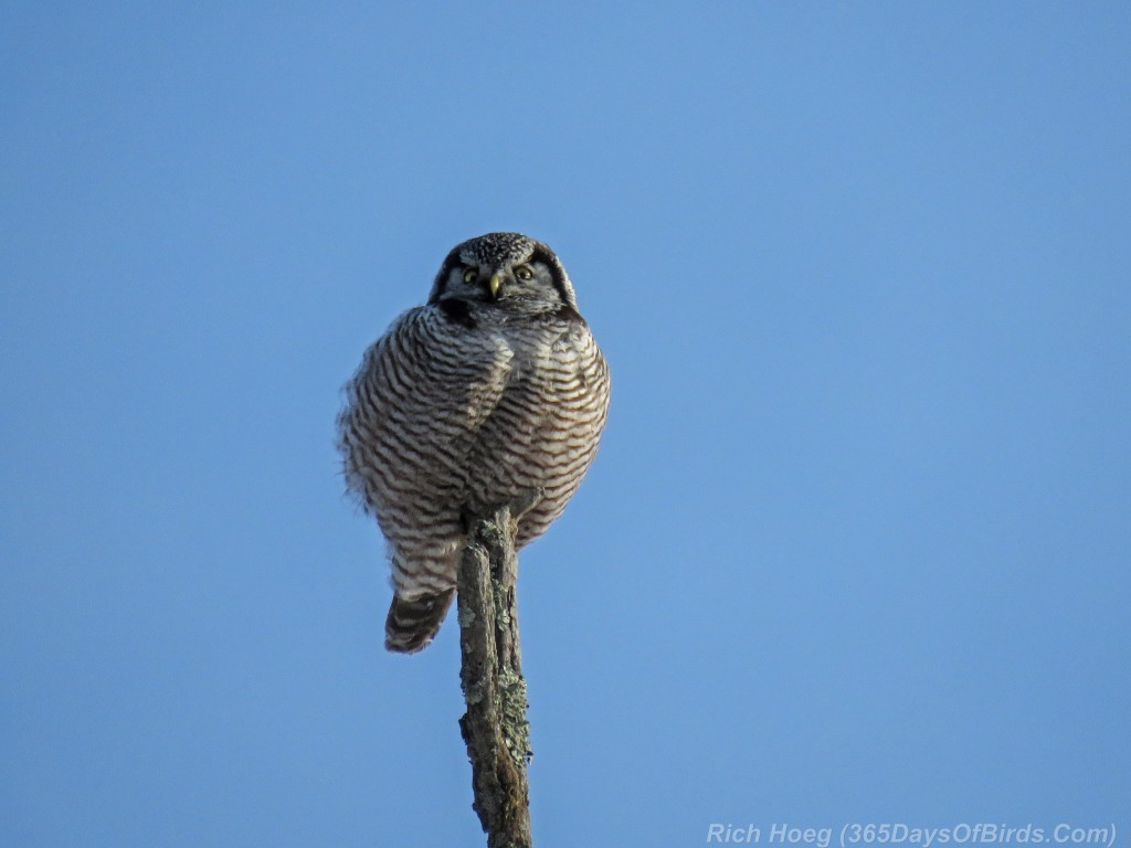 347-Birds-365-Fluffed-Up-Northern-Hawk-Owl