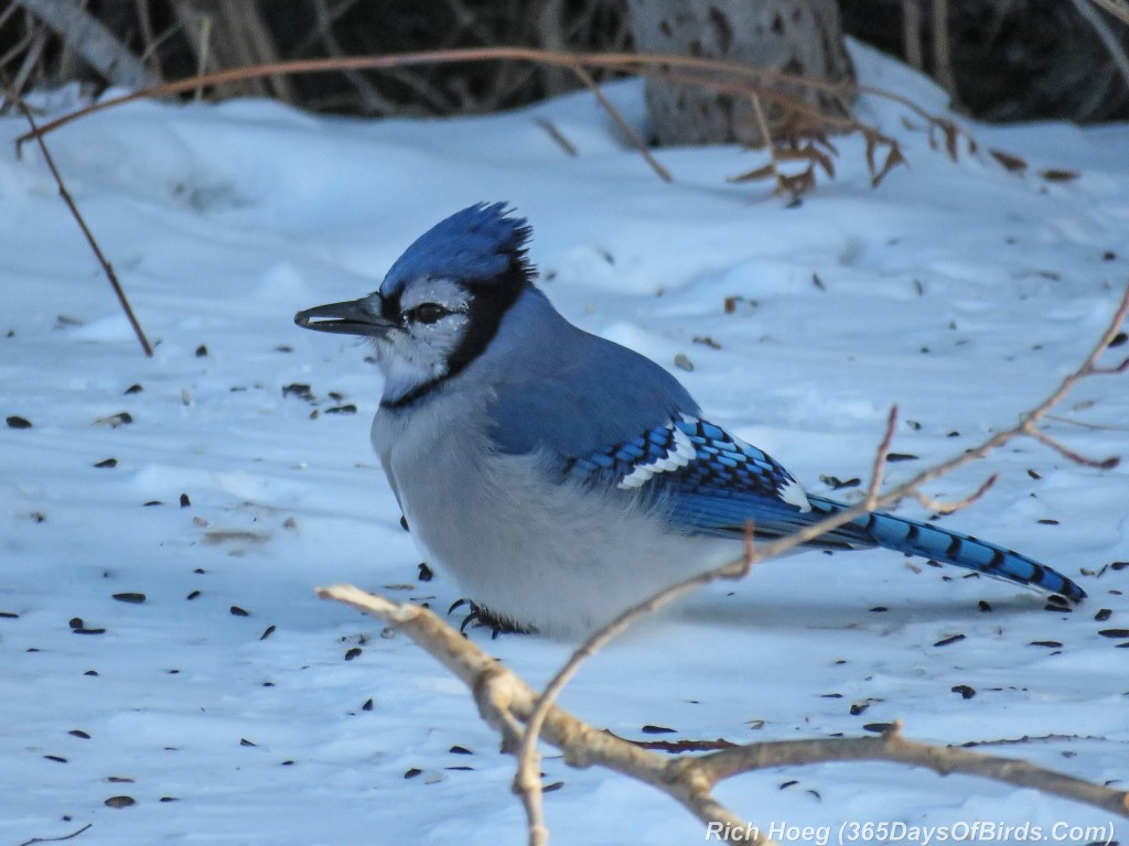 349-Birds-365-Blue-Jay-2
