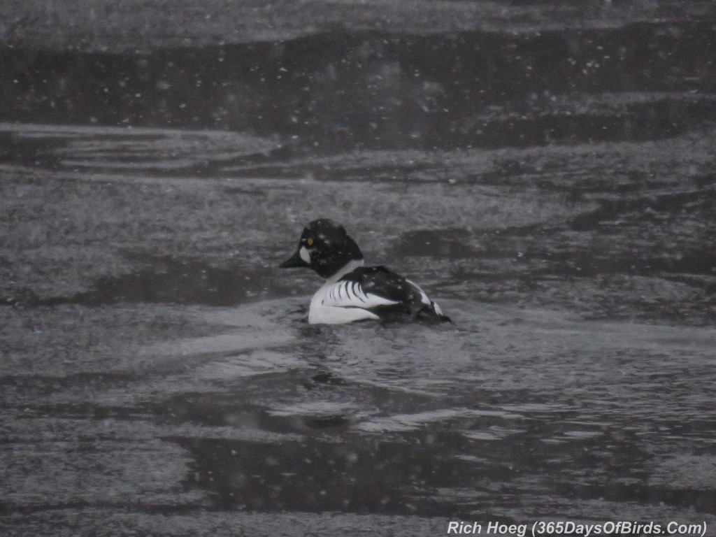 350-Birds-365-Snowy-Goldeneye