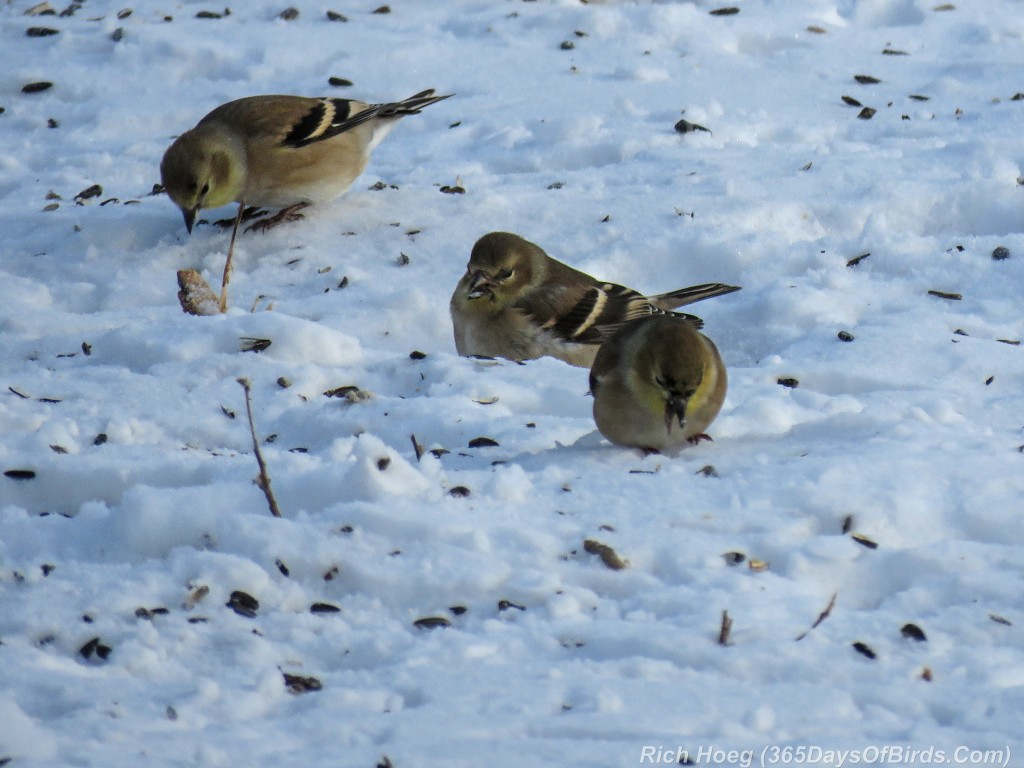 352-Birds-365-Winter-Goldfinches