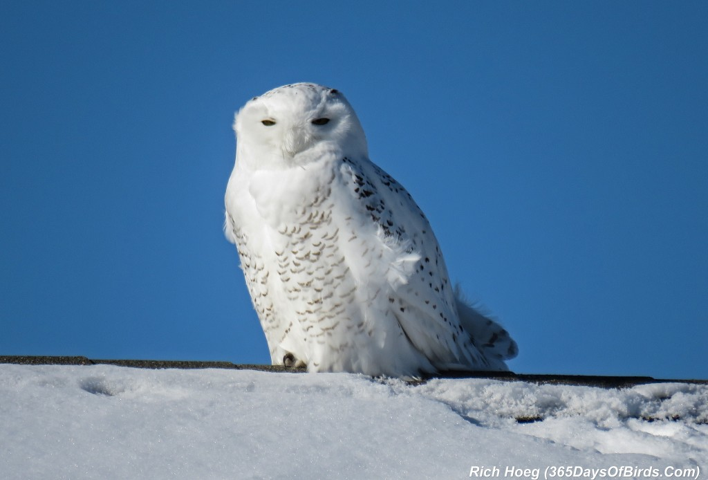 356-Birds-365-Wind-Blown-Snowy-Owl