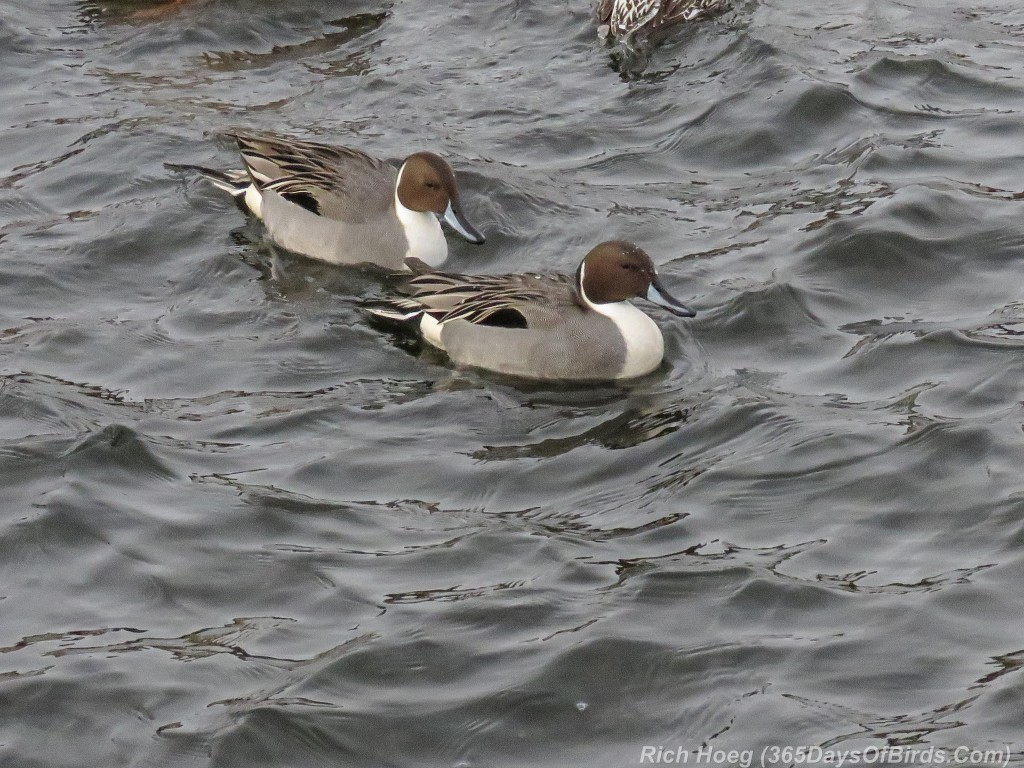 359-Birds-365-Northern-Pintails