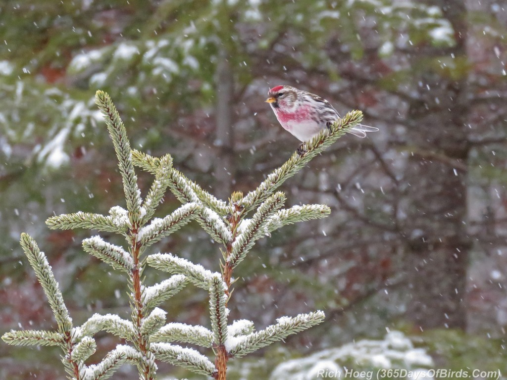 360-Birds-365-Redpoll-Male-Snow-Squall