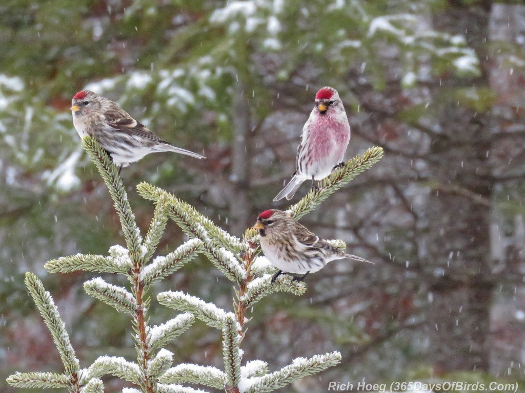360-Birds-365-Redpoll-Trio