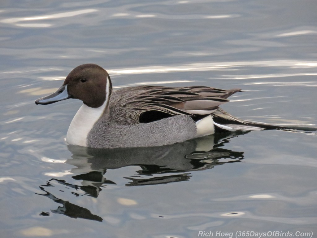 361-Birds-365-Northern-Pintail
