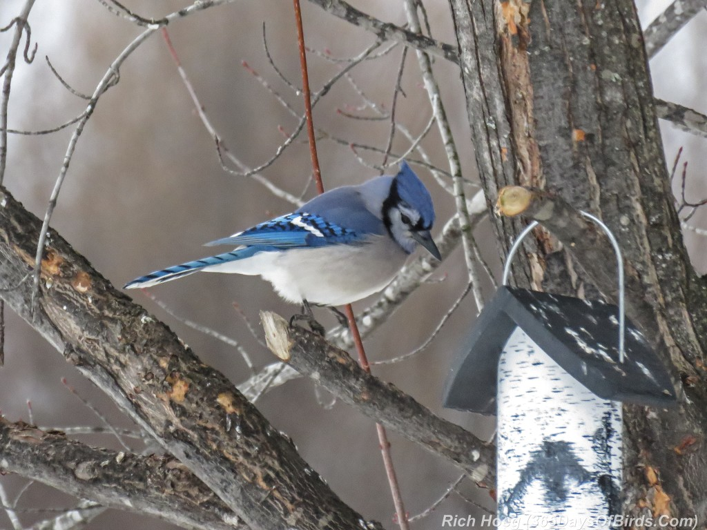 365-Birds-365-Blue-Jay