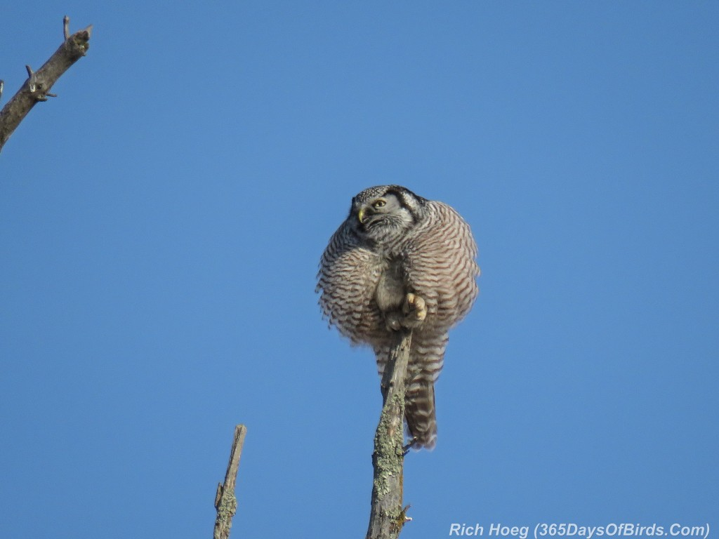 365-Birds-365-Northern-Hawk-Owl