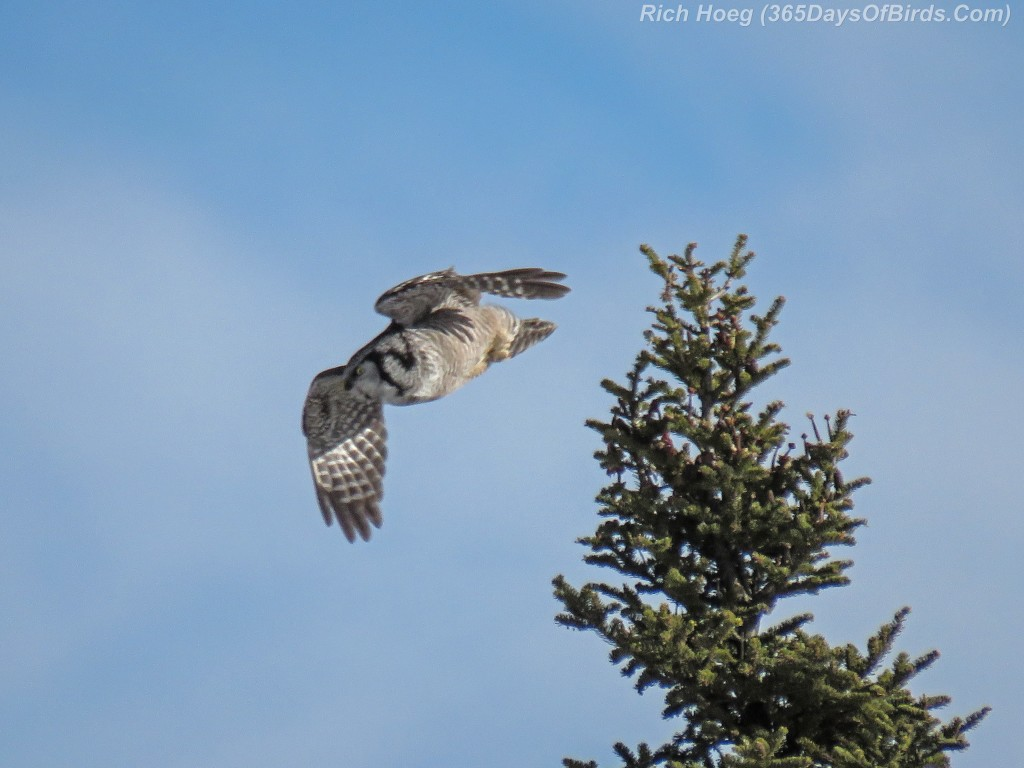 Year-2-Northern-Hawk-Owl-Diving-1